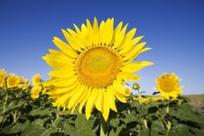 Free Sunflower Royalty Free Stock Photography - 5920327