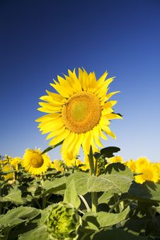 Free Sunflower Royalty Free Stock Photos - 5920368
