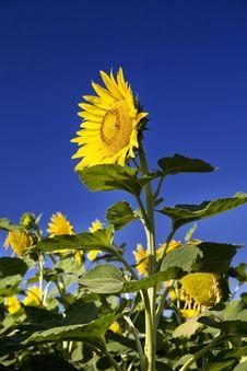 Free Sunflower Stock Image - 5920411