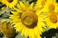 Free Sunflower Stock Images - 5920484