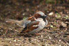Free House Sparrow Stock Photography - 5921012