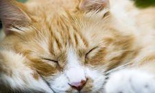 Free Sleeping Cat Face Stock Photography - 5921642