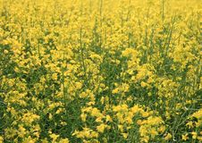 Free Canola Field Detail Stock Images - 5921994