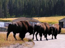 Free Buffaloes Crossing A Road Stock Photography - 5922082