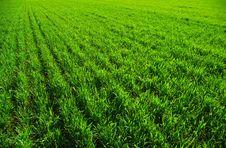 Free Grass Texture Royalty Free Stock Photos - 5922368