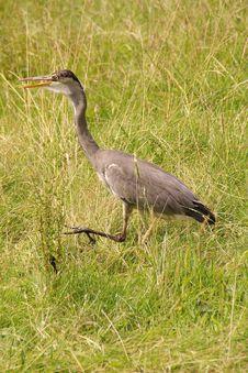Free Grey Heron Royalty Free Stock Photo - 5922465