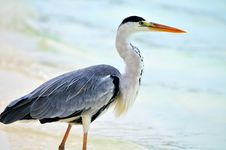 Free Grey Heron At The Beach Royalty Free Stock Images - 5922599