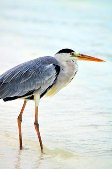 Free Grey Heron At The Beach Royalty Free Stock Photos - 5922608