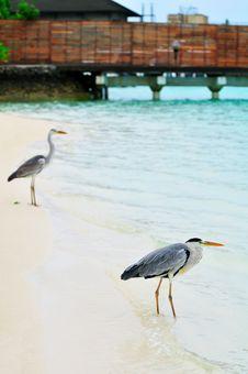 Free Grey Heron At The Beach Royalty Free Stock Image - 5922616