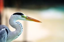 Free Grey Heron At The Beach Stock Images - 5922684