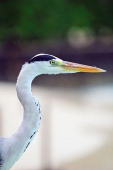 Free Grey Heron At The Beach Stock Image - 5922701