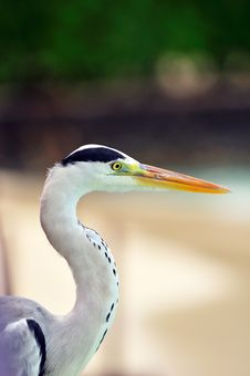 Free Grey Heron At The Beach Royalty Free Stock Photo - 5922705