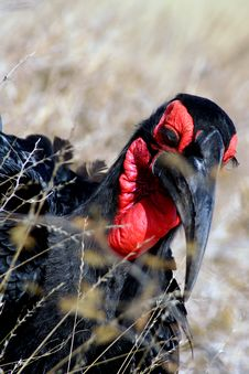 Free Ground Hornbill Stock Images - 5922854