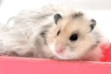 Free Syrian Hamster 5 Royalty Free Stock Image - 5922896