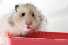 Free Syrian Hamster 6 Royalty Free Stock Images - 5922909