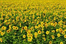 Free Sunflower  Field Royalty Free Stock Photos - 5923248