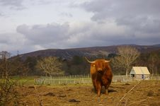 Free Highland Cow Stock Image - 5923511