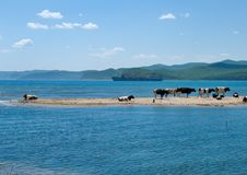 Free Cows And Sea 9 Royalty Free Stock Images - 5923779