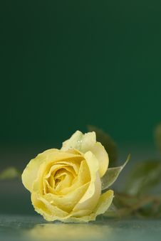 Free Rose Stock Photography - 5923992