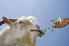 Free White Goat Stock Images - 5924324