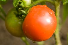 Free Fresh Tomatoes Royalty Free Stock Images - 5924339
