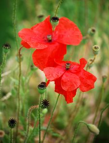 Free Poppies Stock Photo - 5925530