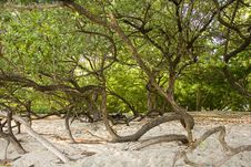 Free Twisted Trees On Beach Stock Photos - 5925583