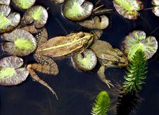 Free Frog 12 Stock Photo - 5925810