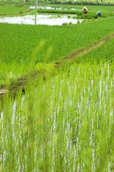 Farmer Working In The Paddyfield Stock Photo