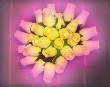 Free Yellow Roses In A Pink Fog Royalty Free Stock Photos - 5926078