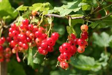 Free Red Currant Royalty Free Stock Photos - 5926188