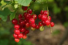Free Red Currant Royalty Free Stock Photos - 5926208