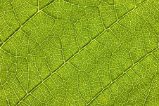 Free Leaf Macro Royalty Free Stock Photos - 5926548