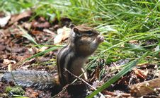 Free Chipmunk Stock Images - 5926714