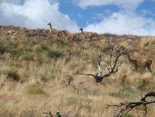 Free Group Of Wild Lama Royalty Free Stock Photos - 5926798