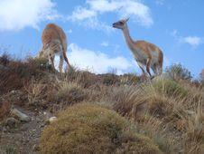 Group Of Wild Lama 3 Stock Photography