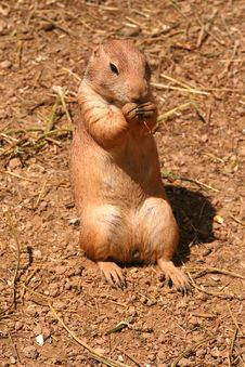 Free Prairie Dog Stock Photo - 5926950