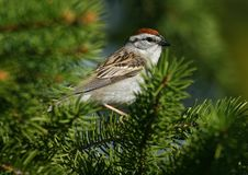Free Chipping Sparrow Stock Image - 5927031