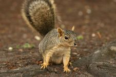 Free Squirrel Royalty Free Stock Photography - 5927037