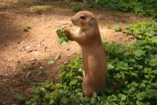 Free Prairie Dog Stock Photo - 5927060