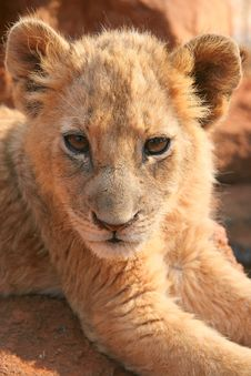 Free Close-up Of A Cute Lion Cub Royalty Free Stock Photos - 5927788