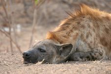 Free Spotted Hyena, Kruger National Park Stock Photos - 5927853