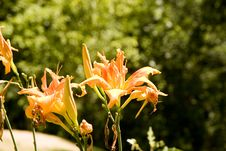 Free Orange Day Lillies Royalty Free Stock Images - 5928179