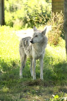 Free European Grey Wolf Royalty Free Stock Photography - 5928717