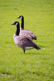 Free Geese Stock Images - 5928934