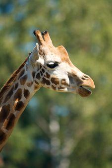 Giraffe Portrait 02 Stock Image