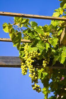 Free Grapes Stock Photo - 5929830