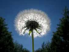 Free Dandelion Stock Images - 5929904