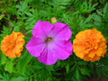 Free Orange Purple Orange Stock Images - 5931204