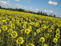 Free Sunflowers Field Royalty Free Stock Images - 5931429